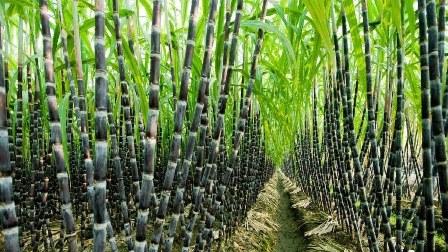 largest sugarcane growing states in nigeria