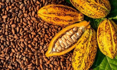 largest cocoa producing states in nigeria