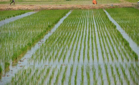 largest rice producing states in nigeria